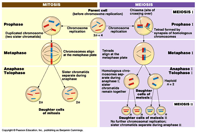 Centrosome duplication occurs during asexual reproduction